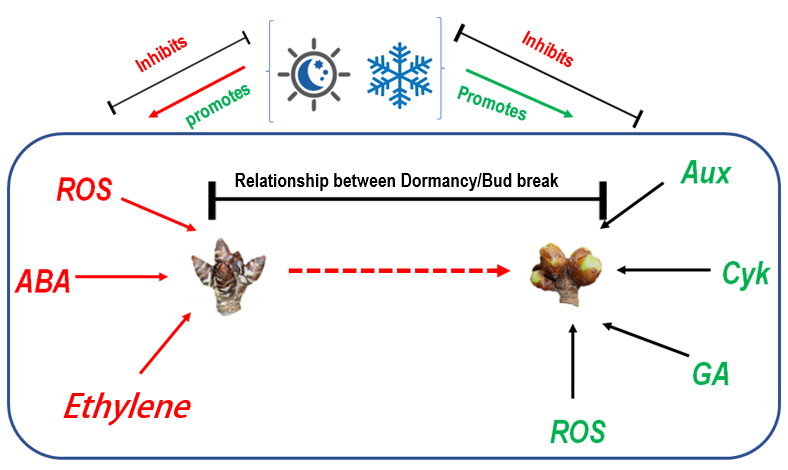 Physiology of winter dormancy in deciduous fruit trees